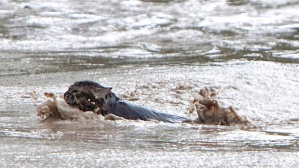 Experts say most cats are capable swimmers, and Momo the cat was put to the test after the Highwood River began sweeping away the truck she and her guardian were in. (Jordan Verlage/Canadian Press)
